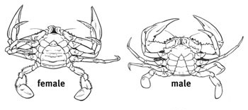 male and female mud crab